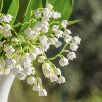 lilyofthevalley2437090_960_720